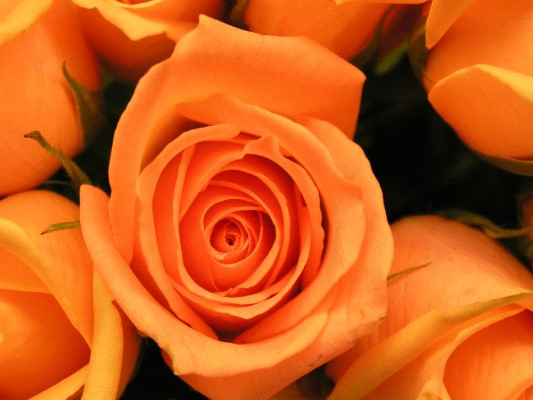 Stock image of a rose before applying PhiMatrix for golden spiral cropping