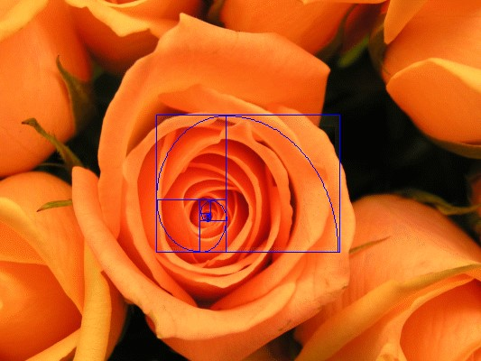 Stock image of a rose showing application of PhiMatrix Golden Spiral for cropping